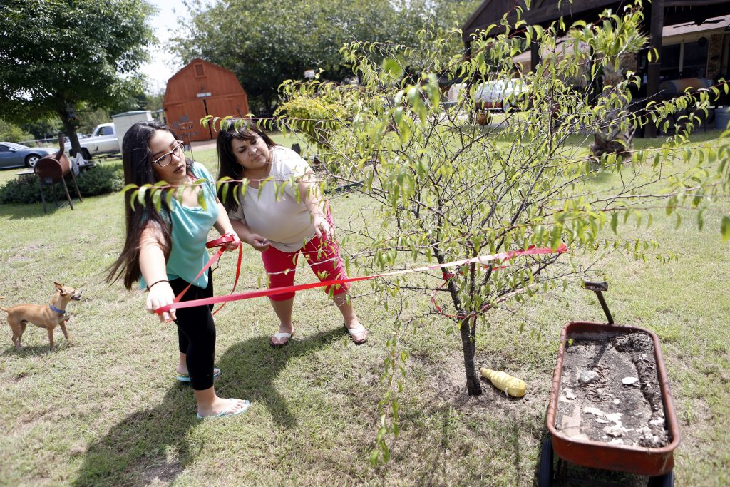 Brenda Munguia and her daughter, Nalaya, 13, (left) wrap ribbon around their fruit trees to keep squirrels away at at their home in Ovilla, Texas on Saturday, August 27, 2016. (photo © Lara Solt)